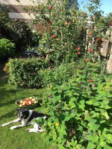 Hond Jip helpt juf Cunera met appels plukken